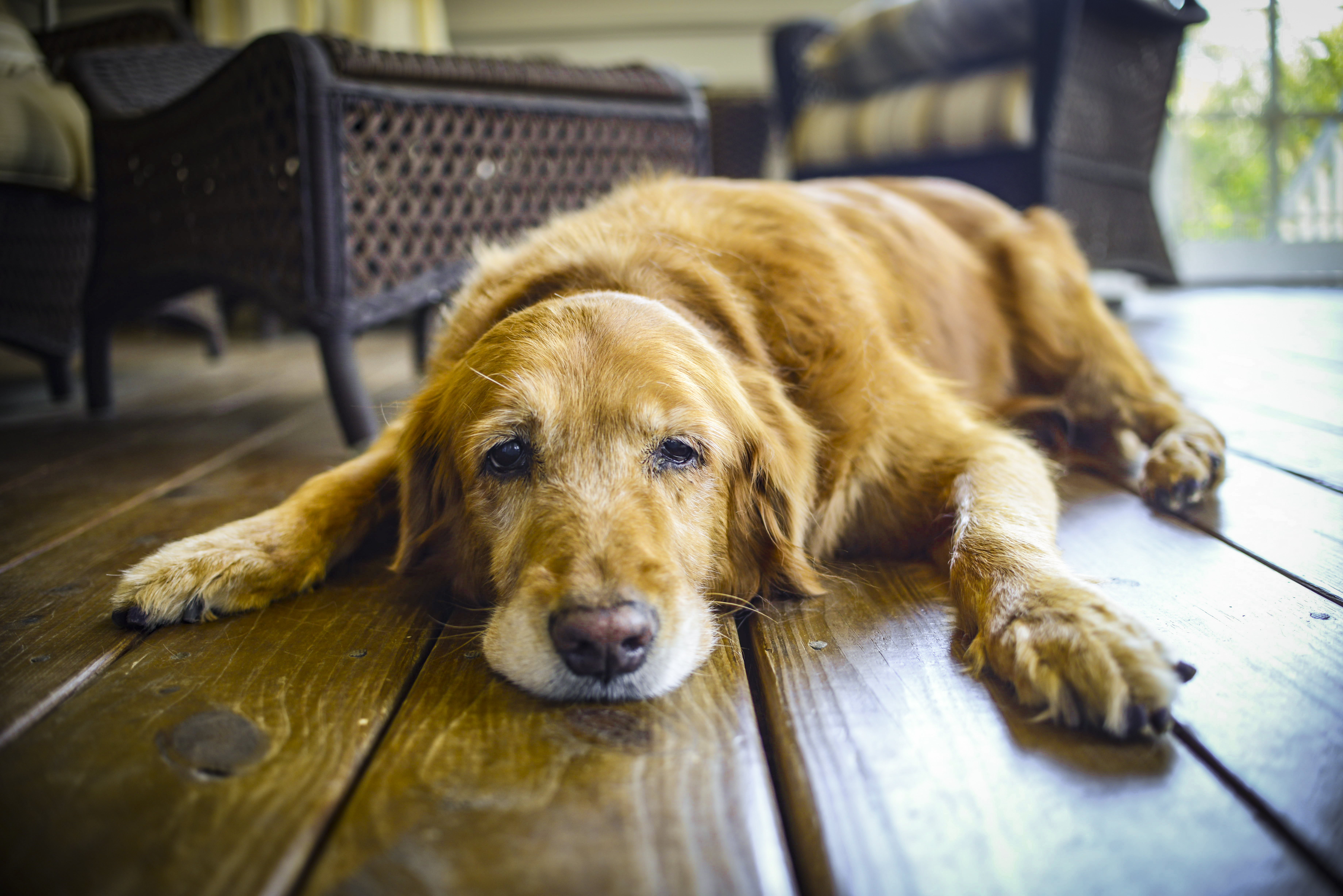 Helping Your Dog Recover After Surgery | Wapiti Labs, Inc